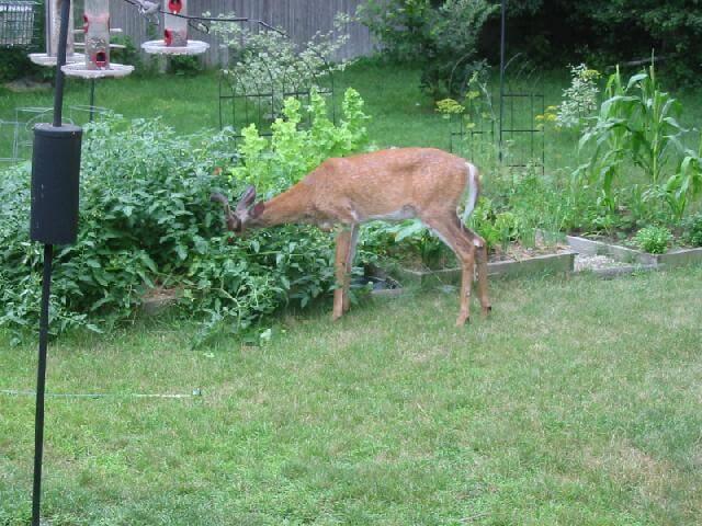 Image result for deer eating vegetable garden